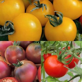 Colourful Tomato Collection (15 plants)