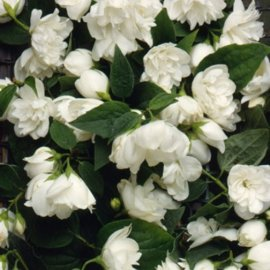 Mock Orange Hedging (6 plants)