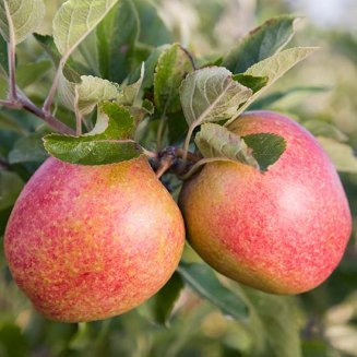 Cordon Apple 'Adam's Pearmain'