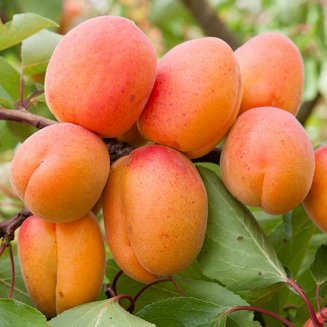 Sibley's Patio Apricot 'Flavorcot'