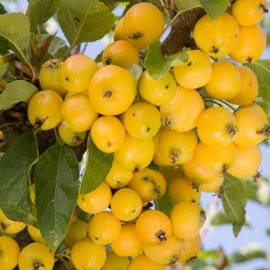 Malus 'Golden Hornet' (Crab Apple Tree)