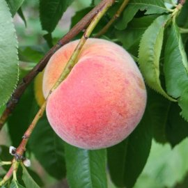 Peach Tree 'Avalon Pride'