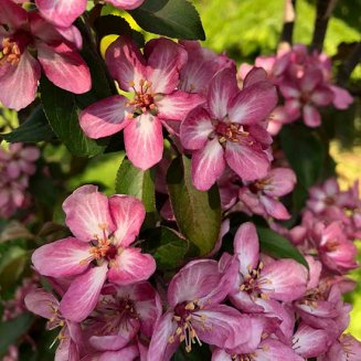 Malus 'Laura' (Crab Apple Tree)
