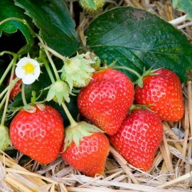 Strawberry Plants 'Mara des Bois' (12 plants)