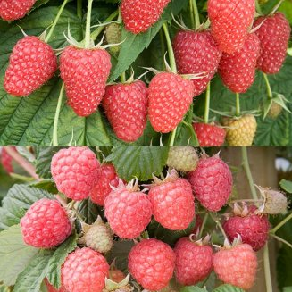 Summer & Autumn Raspberry Collection (12 canes)