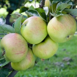 Stepover Apple 'Bountiful'