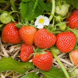 Strawberry Plants 'Cambridge Favourite' (12 plants)