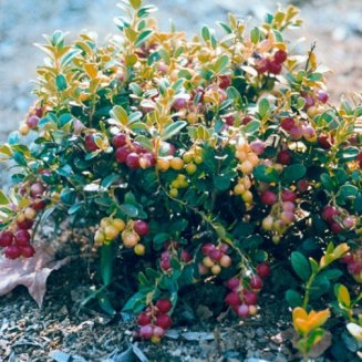 Lingonberry Bush 'Red Pearl' (3 plants)