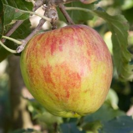 Apple Tree 'Isaac Newton's Tree'