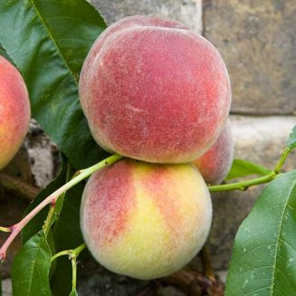 Peach Tree 'Duke of York'