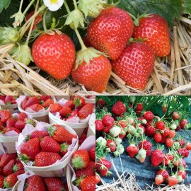 French Gourmet Strawberry Collection (18 plants)