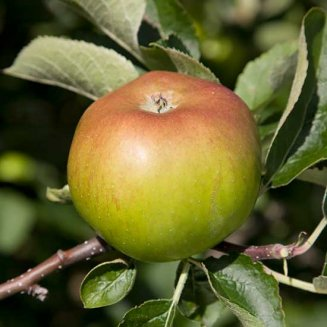 Apple Tree 'Bramley 20'