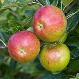 Apple Tree 'Fiesta' (Pot Grown)