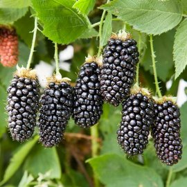 Blackberry Bush 'Karaka Black'