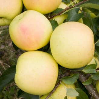 Stepover Apple 'Greensleeves'