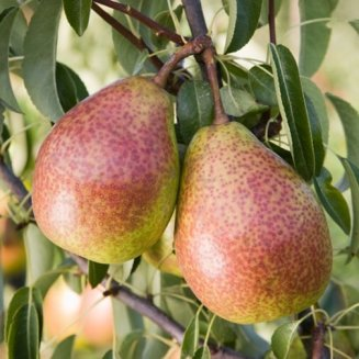 Pear Tree 'Louise Bonne of Jersey'