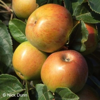Apple Tree 'Broadholme Beauty'