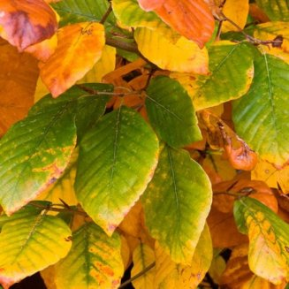 Green Beech Hedging (12 plants)