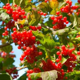Guelder Rose Hedging (12 plants)