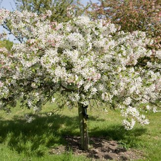 Malus 'Sun Rival' (Crab Apple Tree)