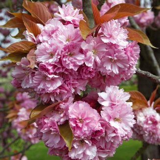 Prunus 'Kanzan' (Pot Grown) Flowering Cherry Tree