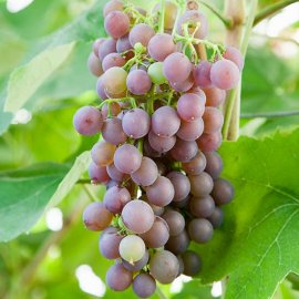 Grape Vine 'Strawberry Vine' (Pot Grown)
