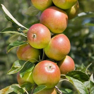 Apple Tree 'Cox self-fertile' (Pot Grown)