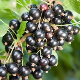 Blackcurrant Bush 'Ben Connan' (Pot Grown)