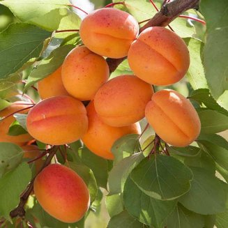 Apricot Tree 'Flavorcot'