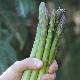 Asparagus 'Guelph Eclipse' (12 crowns)