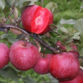 Apple Tree 'Tickled Pink'