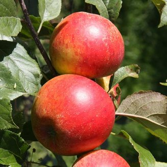 Apple Tree 'Christmas Pippin'