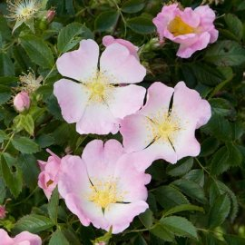 Dog Rose (Wild Rose) Hedging (6 plants)