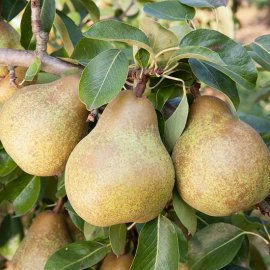 Pear Tree 'Merton Pride'
