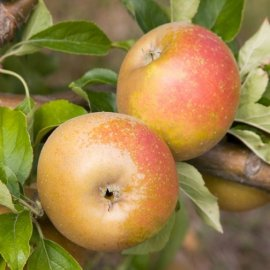 Stepover Apple 'Egremont Russet'