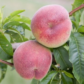 Peach Tree 'Peregrine'