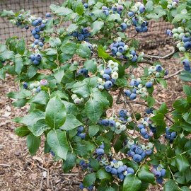 Blueberry Bush 'Northland'