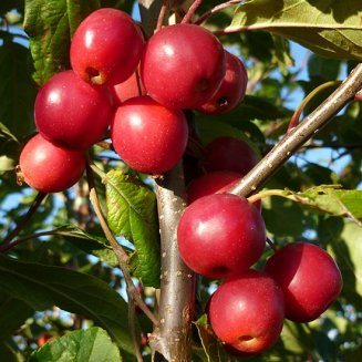 Malus 'Red Sentinel' (Crab Apple Tree)