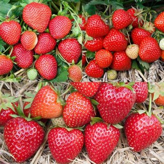 Summer Strawberry Plant Collection (18 plants)