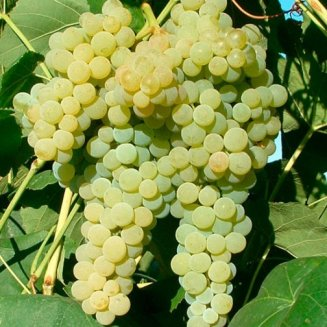 Grape Vine 'Lakemont' (Bare Root)