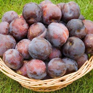 1x 4-5ft Blue Tit Plum Fruit Tree Rare /& Sweet Self Fertile
