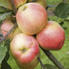 Cordon Apple 'Bardsey'