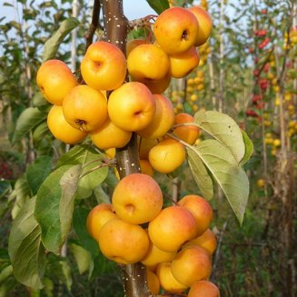 Malus 'Butterball' (Crab Apple Tree)