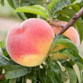 Peach Tree 'Rochester'