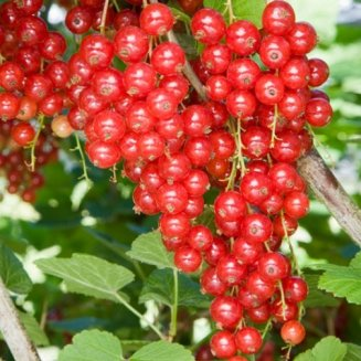 Redcurrant Bush 'Jonkheer Van Tets' (Pot Grown)