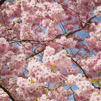 Prunus Flowering Cherry Trees