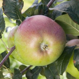 Apple Tree 'Howgate Wonder'
