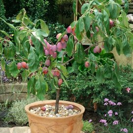 Sibley's Patio Plum 'Victoria'