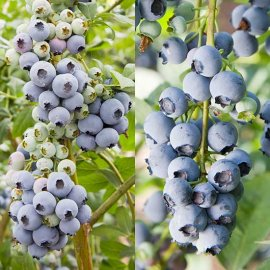 Blueberry Collection (2 Bushes)