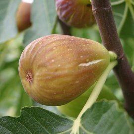 Fig Tree 'Doree'